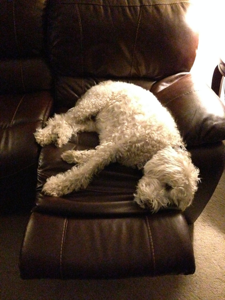Sophie Golden Doodle in recliner heaven